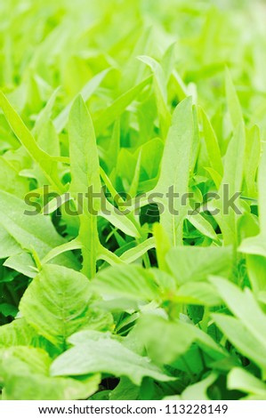 green indian lettuce grow in field