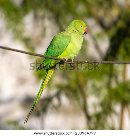 Green Indian Ringnecked Parakeet parrot on the wire - stock photo