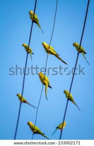 Green Indian Ringnecked Parakeet parrots on the wire - stock photo