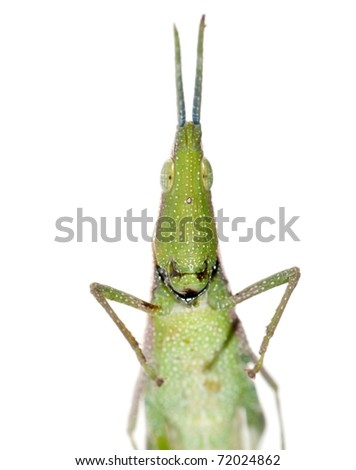 green insect grasshopper isolated on white - stock photo
