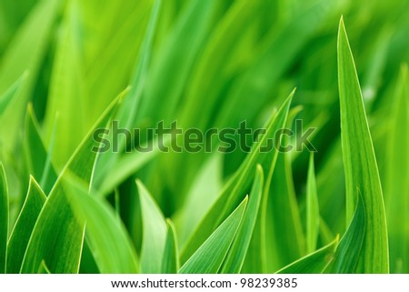 Green iris leaves - stock photo