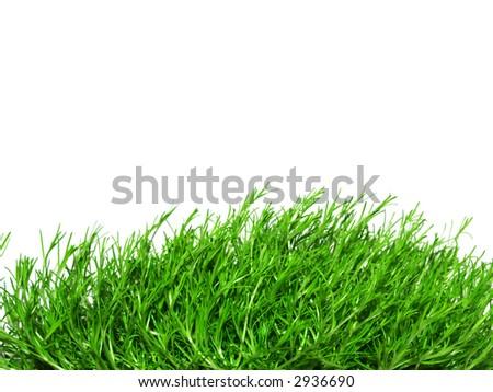 green Irish Moss, carrageen moss, chondrus crispus - stock photo