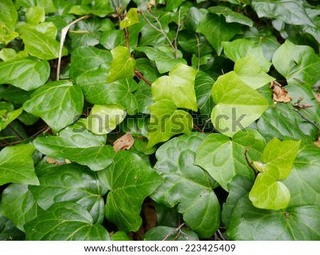 Green ivy. - stock photo