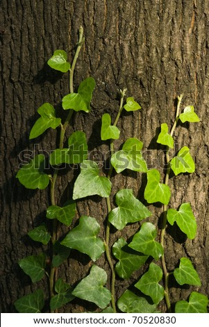 green ivy climbing up tree trunk - stock photo