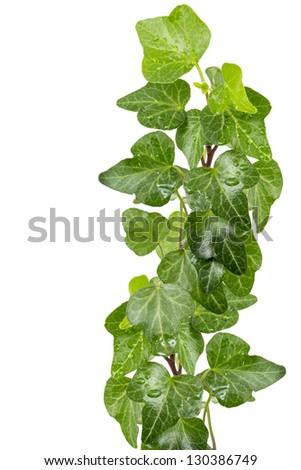 Green ivy (Hedera helix) twig - stock photo
