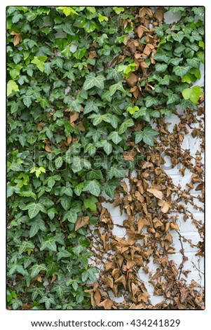Green ivy Hedera with glossy leaves and white veins on the wall. Vintage border - stock photo
