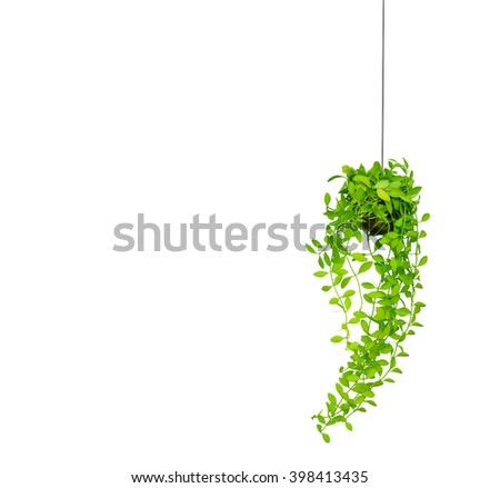 green ivy in flowerpot isolated on white background. - stock photo