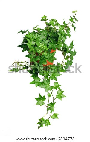 Green ivy in pot. Isolated white. - stock photo