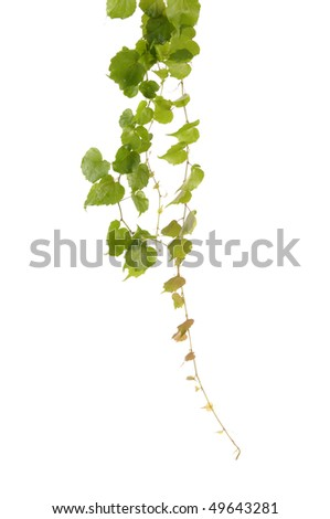 Green ivy isolated - stock photo