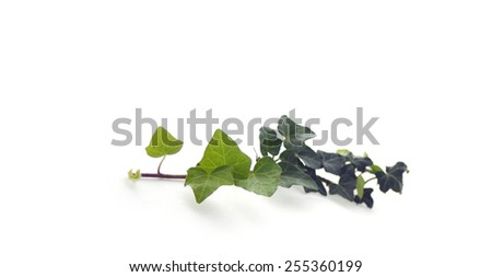 Green ivy isolated on white - stock photo