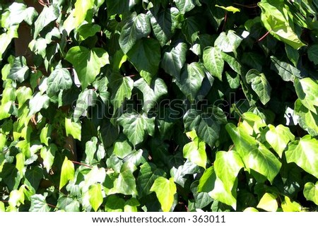 green ivy leaves - stock photo