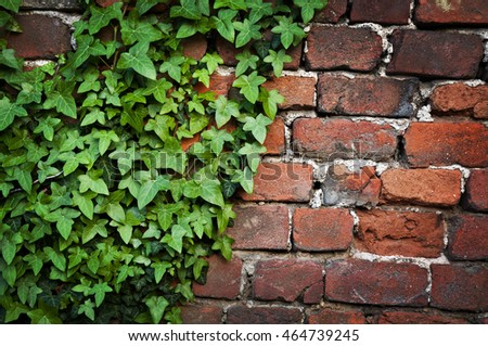 Green Ivy leaves on red bricked wall texture