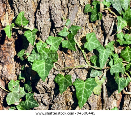 Green Ivy leaves on the tree bark - stock photo