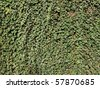 Green ivy leaves useful as a background - stock photo
