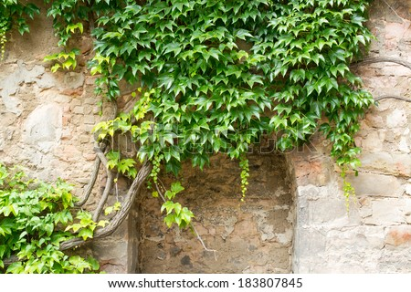 Green ivy on a stone wall, Hannover, Germany - stock photo