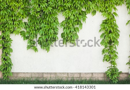 Green ivy on garden fence and grass - stock photo
