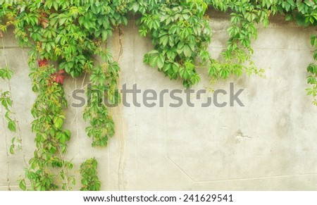 green ivy on wall  - stock photo