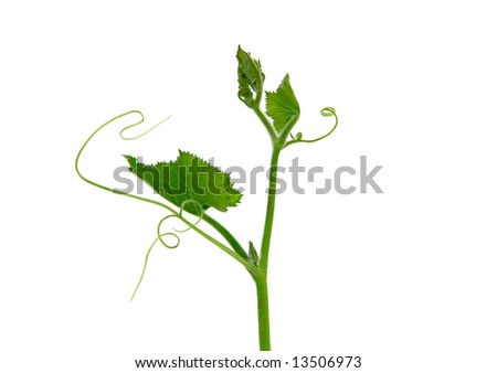 Green Ivy  on white background