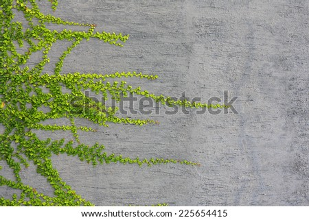 Green ivy plant gray wall background - stock photo