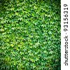 Green ivy wall background - stock photo