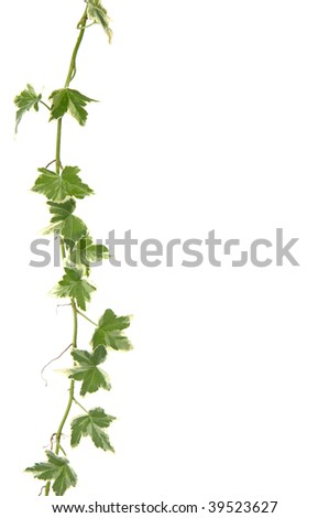 Green ivy with copy space - stock photo
