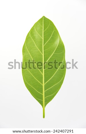 Green jackfruit leaf isolated on white background - stock photo