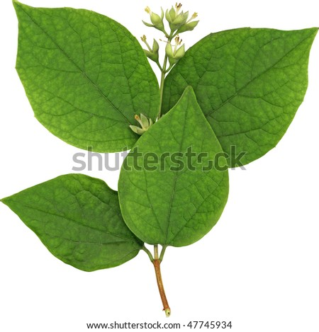Green jasmin foliage isolated on white - stock photo