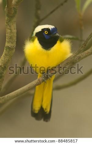 Green Jay,Cyanocorax yncas,resting on a branch in Ecuadorian rainforest - stock photo