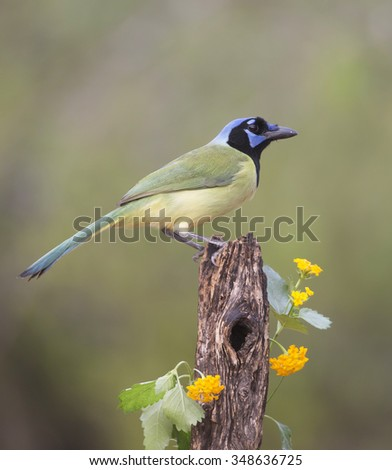 Green Jay perched on tree in Rio Grande Valley, Texas - stock photo