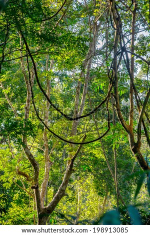 Green jungle forest with liana trees - stock photo