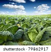 green kale - stock photo