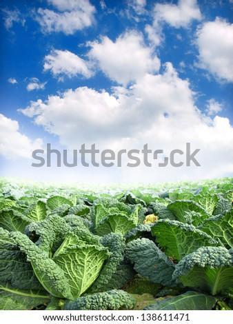 green kale field - stock photo