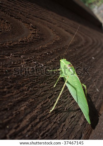 Green Katydid Insect - stock photo
