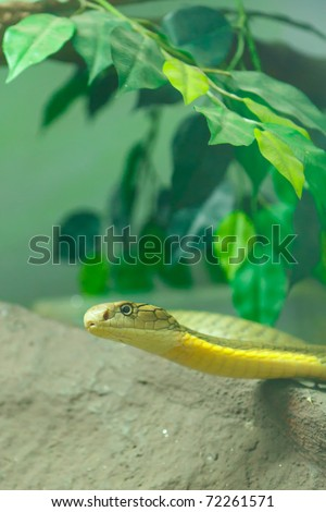 green King cobra on the rock - stock photo