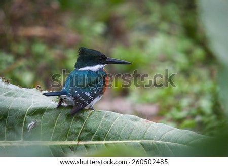 Green Kingfisher (Chloroceryle americana) male adult perched on a big leaf in the rain. Argentina, South America. - stock photo