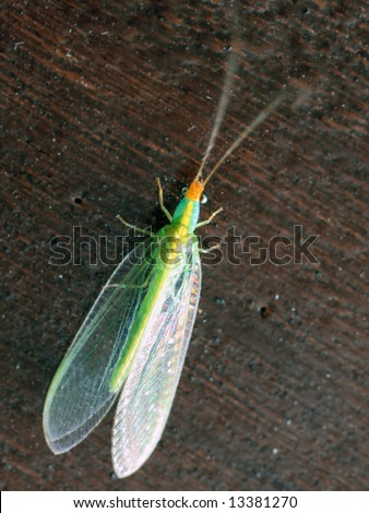 green lacewing - stock photo