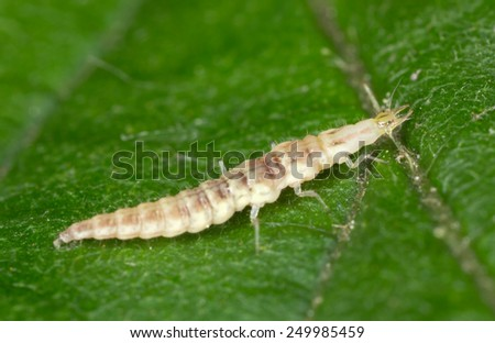 Green lacewing larva, Chrysopidae on leaf - stock photo