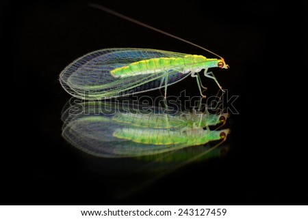 Green lacewings are insects in the large family Chrysopidae of the order Neuroptera with reflection on mirror. Image has grain or noise and soft focus when view at full resolution.