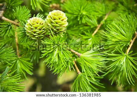 Green larch cones, larch tree - stock photo