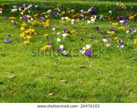 Green lawn in the spring with crocus flowers - stock photo