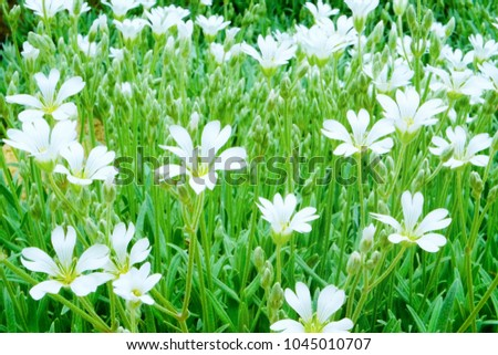 Green lawn big white flowers ground stock photo royalty free green lawn with big white flowers of ground cover plants cerastium tomentosum snow in mightylinksfo