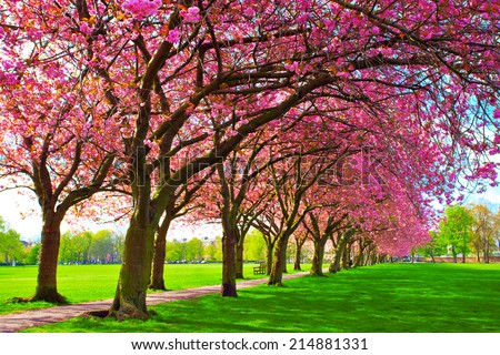 Green lawn with blossoming pink plum trees at Meadows park, Edinburgh. Colorful spring landscape - stock photo