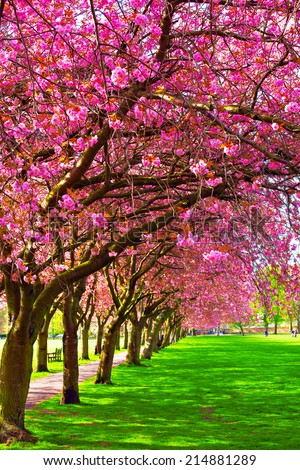 Green lawn with blossoming plum trees at Meadows park, Edinburgh  - stock photo