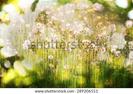 green lawn with blowballs in sunset lighting - stock photo