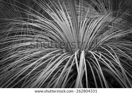 Green leaf background of grass tree in Australia in black and white - stock photo