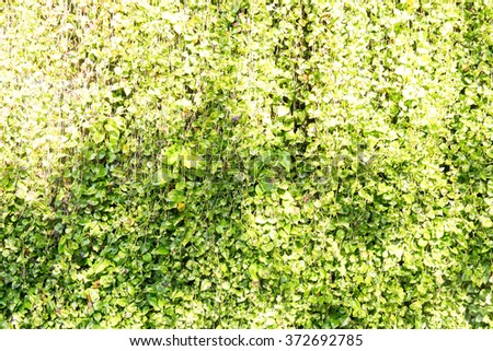 Green leaf background with vine wall and Shadow tree - stock photo