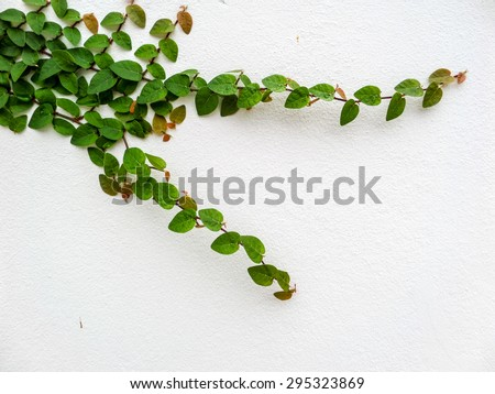 Green leaf border, Isolate of plant on the wall in garden - stock photo