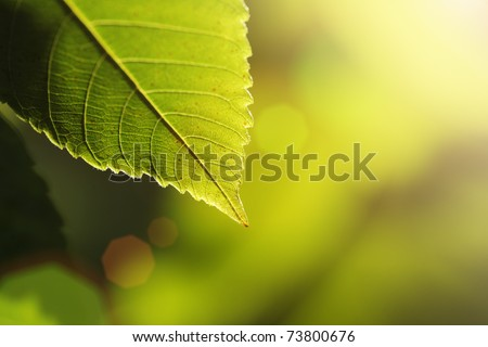 Green leaf detail over sunny blur background. Shallow DOF. - stock photo
