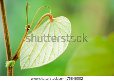Green leaf is going to grow with clear background, Chonburi Thailand - stock photo