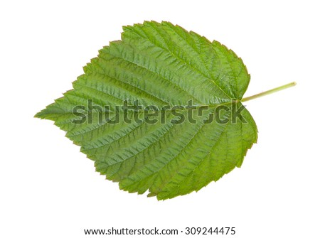 Green leaf, isolated on a white, close-up.  - stock photo